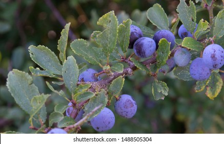 Sloes - fruit of the Blackthorn bush