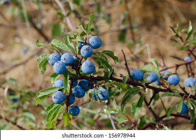 sloes plant with a good harvest
