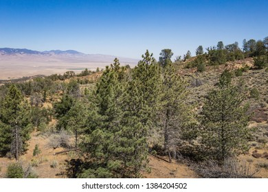 Slope of green pine trees above a valley near Fort Tejon California.
