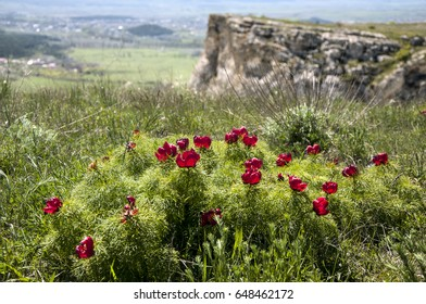 Slope of the White Mountain overgrown with thin-leaved Peony (Paeonia tenuifolia) in the spring. Crimea.