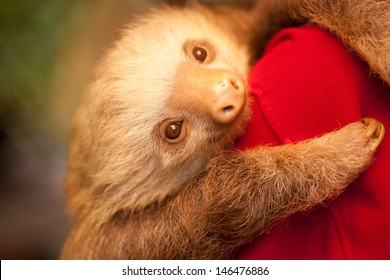 A sloth at  an animal shelter in Costa Rica