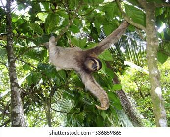 sloth bear costa rica