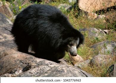 Sloth Bear, Melursus Ursinus. Daroji Bear Sanctuary, Ballari district, Karnataka