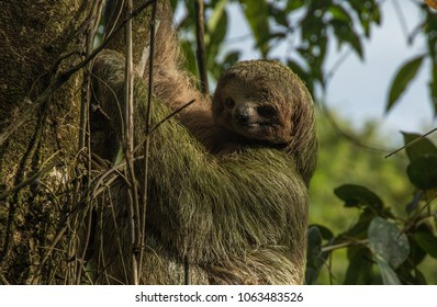 Sloth climbing the tree close-up