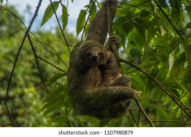 Sloth in Costa Rica rainforest