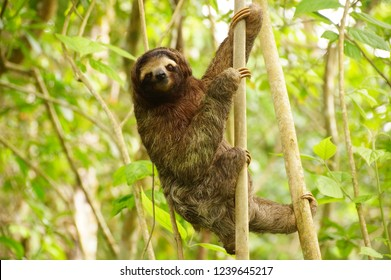 Sloth in the forest of Costa-Rica
