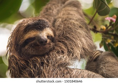 Sloth hanging in a tree