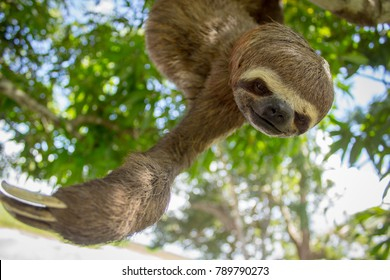 Sloth hanging from a tree in a Amazon rainforest