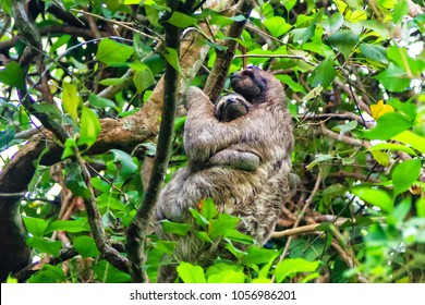 Sloth mum with a baby moving on a tree in Panama City municipal park