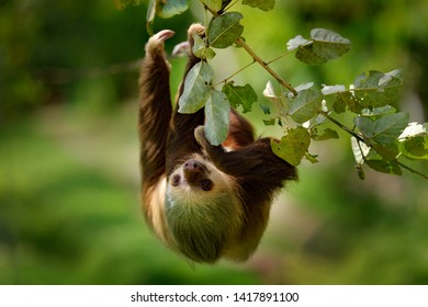 Sloth in nature habitat. Beautiful Hoffman's Two-toed Sloth, Choloepus hoffmanni, climbing on the tree in dark green forest vegetation. Cute animal in the habitat, Panama. Wildlife in jungle.