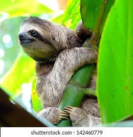 Sloth in Puerto Viejo, Costa Rica