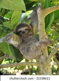 sloth, three toe juvenile or baby in mango tree, cahuita, costa rica , latin america, exotic mammal in tropical jungle