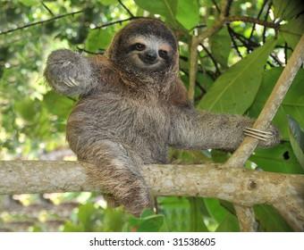 sloth three toe juvenile playful in tree , cahuita, costa rica, central america. unusual exotic mammal in lush tropical jungle