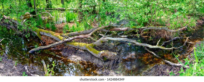 Slough with brown water and dead tree in a forest of the Western Pomerania Lagoon Area National Park, Germany