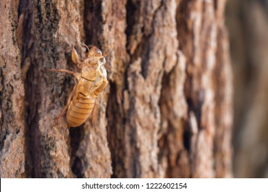 Slough of cicada insect molt on pine tree at Thung salaeng Luang National Park . Phetchabun and Phitsanulok province . Northern of Thailand . Macro and close up side view .