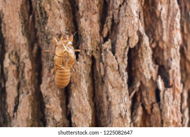 Slough of cicada insect molt on pine tree at Thung salaeng Luang National Park . Phetchabun and Phitsanulok province . Northern of Thailand . Macro and close up top view .