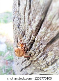 The slough of the cicada's golden shell on the tree-closeup