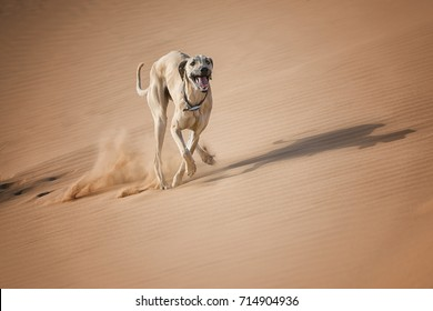 A Sloughi (Arabian greyhound) runs in the desert of Morocco.