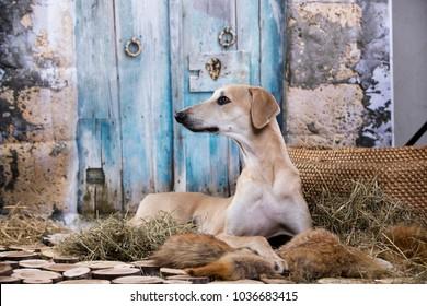 Sloughi greyhound hunting dog, Arabian dog