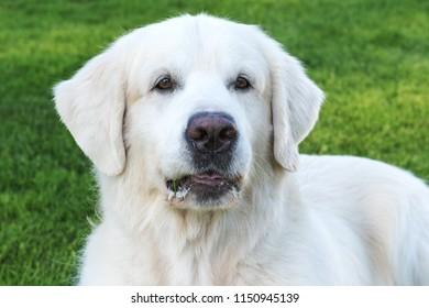 Slovak Cuvac dog.