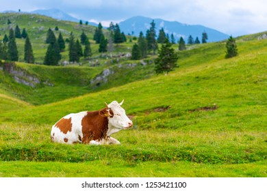 Slovenia pasture big plateau (velika planina). Cows on the pasture in Slovenia Alps. Green grass, fresh nature.