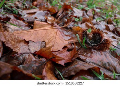 Slovenia / Velenje - November 1, 2019: Autumn background with falling leaves and chestnut on a rainy day in the park near a forest
