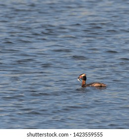 Slovenian Grebe, Podiceps auritus, with a just caught small fish