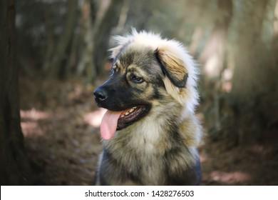 Slovenian Karst shepherd dog breed