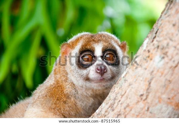 slow loris monkey