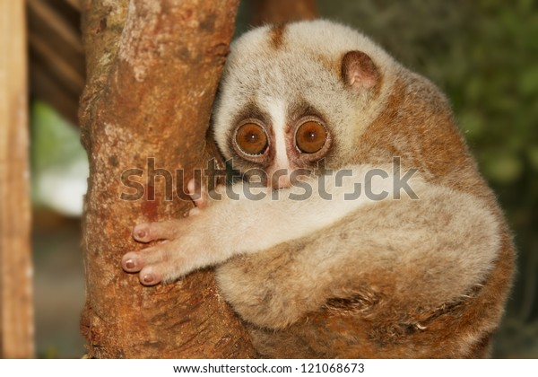 slow loris monkey climb on the tree