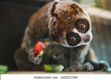 Slow Loris Monkey. Laurie, the little monkey, with the big round eyes with the surprise emotion on his face.