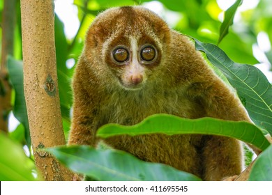 Slow Loris monkey on tree with green leaf as background. Slow lorises often hang upside-down from branches by their feet so they can use both hands to eat.