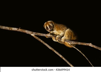 Slow loris  in the nature background.