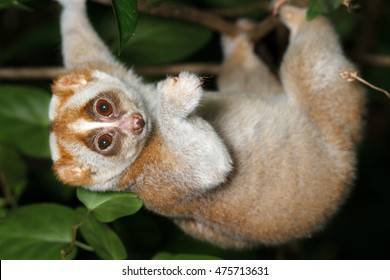 Slow loris on tree