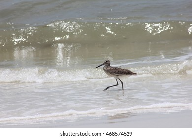 slow walking sea bird in front of waves