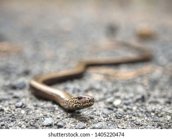 Slow Worm or Blind Worm (Anguis fragilis) detail. Slow Worm lizard often mistaken for snakes. His food is generally pest insects.