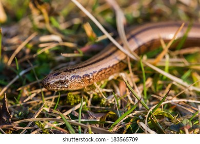 The Slow Worm, Blind Worm - Anguis fragilis. Lizard slithering in the grass