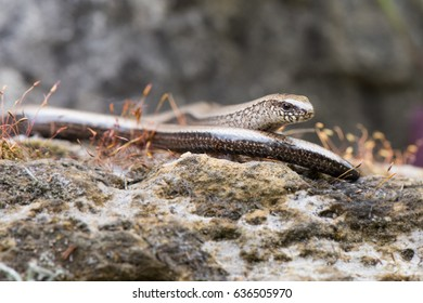 The Slow Worm or Blind Worm (Anguis fragilis). These lizards are often mistaken for snakes. In gardens help remove pest insects.