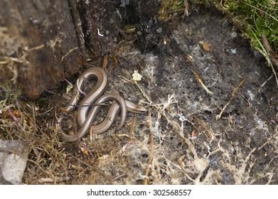 Slow worm found under old logs.