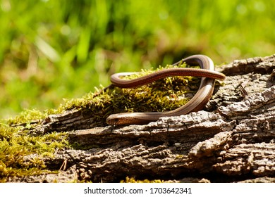 slow worm on a piece of wood with a blurred background.