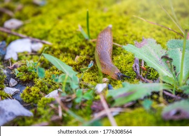 A slug crawling on moss and grass. A slug crawls through the grass with his feelers out. The Spanish slug, also known by its scientific name Arion vulgaris and Arion lusitanicus.