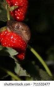 Slug crawling on a ripe organic cultivar remontant strawberry in the autumn garden