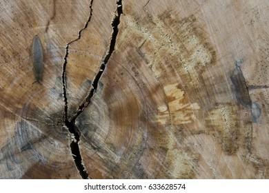 slug, creeping over a felled tree/slug on sawed trunk/land slug