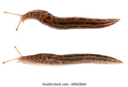 Slug isolated on white background