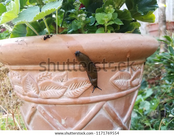 slug and slime trail on clay pot with plant with green leaves