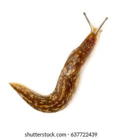 Slug snail on white background