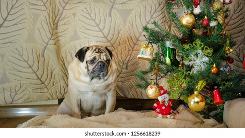 sluggish, lazy, dull dog at new year holidays. thick, fat pet is sad. beige, fawn pug sit near christmas tree. background is traditional holiday home.