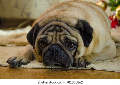 sluggish, lazy, dull dog at new year holidays. pet is sad beige, fawn pug. thick, fat room dog lay near christmas tree. background is traditional holiday home.