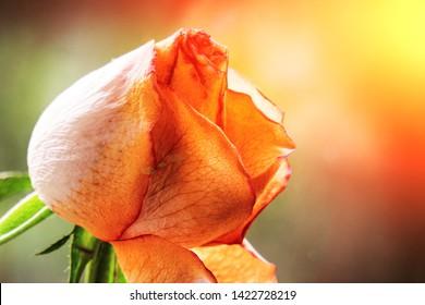 Sluggish old rose. The flower bud is down.