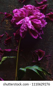 Sluggish peony flower and petals on a dark background